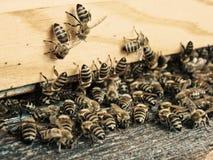 Pszczoła rój Zdjęcie Royalty Free