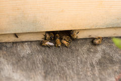 Pszczoła rój Obrazy Stock