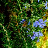 Pszczoła robi it& x27; s praca Zdjęcie Stock