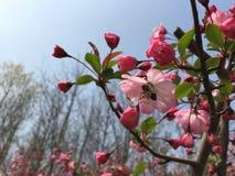 pszczoła Sakura Zdjęcie Stock
