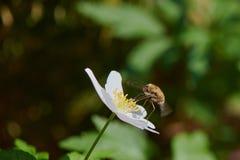 Pszczoła ssa kwiatu nektaru Anemonowego nemorosa blisko lasu Obrazy Stock