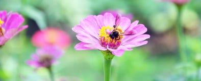 Pszczoła utrzymuje nektar od kosmosu kwiatu Fotografia Stock