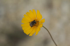 Pszczoła w Bitterweed kwiacie fotografia royalty free