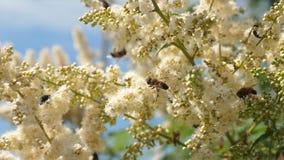 Pszczoła w górę zbiera nektar i zapyla kwiaty na gałąź Insekty zbieraj? nektar od kwitn?cych ? zdjęcie wideo
