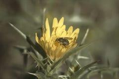 Pszczo?a w kwiacie zdjęcia royalty free