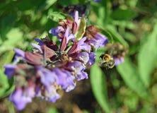 Pszczoła w Locie Obrazy Stock
