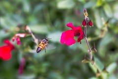 Pszczoła w Locie Zdjęcie Stock