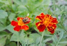 Pszczoła w nagietku Obrazy Stock