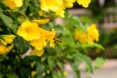 Pszczoła w ogródu parku Fotografia Stock