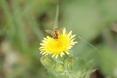 Pszczoła wielkiego czas przy kwiatem obrazy royalty free