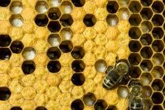 pszczoły zdjęcia royalty free