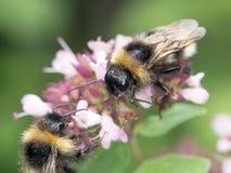 Pszczoły Obraz Royalty Free