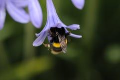 Pszczoły Zdjęcie Royalty Free