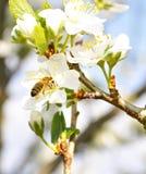 pszczoły bonkreta Obrazy Stock