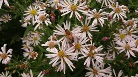Pszczoły, Botanisher Garten, Berlin Obraz Royalty Free