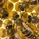 Pszczoły budowy honeycombs Zdjęcie Royalty Free
