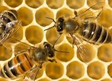 Pszczoły budowy honeycombs Zdjęcie Stock