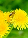 pszczoły dandelion Zdjęcie Stock