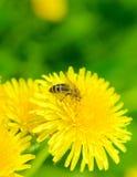 pszczoły dandelion Obrazy Stock