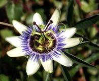 pszczoły flowes owocowa pasja Obraz Stock