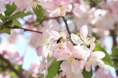 Pszczoły i begonia kwiaty Fotografia Stock