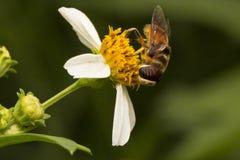 Pszczoły i kwiat Fotografia Royalty Free