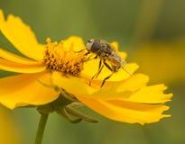 Pszczoły i kwiaty Obraz Royalty Free
