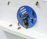 Pszczoły i rój Zdjęcie Stock