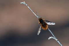 pszczoły komarnica Obrazy Stock