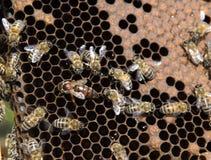 pszczoły królowa Zdjęcia Royalty Free