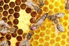 Pszczoły królowa Zdjęcie Stock