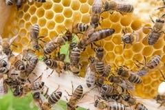 Pszczoły królowa w honeybee Zdjęcia Royalty Free