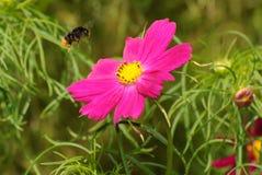 pszczoły kwiatu latanie w kierunku Zdjęcia Royalty Free
