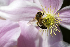 pszczoły kwiatu miodu menchie Zdjęcia Royalty Free