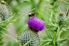 pszczoły kwiatu miodu purpury Obraz Stock