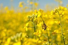 pszczoły kwiatu oilseeds Zdjęcie Stock