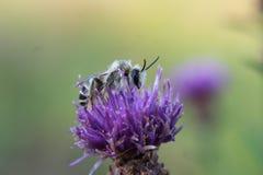 pszczoły kwiatu purpur oset Zdjęcie Royalty Free