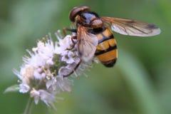 pszczoły kwiatu purpury Fotografia Stock