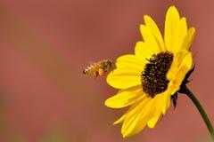 pszczoły latanie Zdjęcia Stock