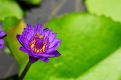 pszczoły lelui woda Zdjęcia Stock