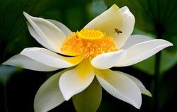 pszczoły lily wody Zdjęcia Royalty Free