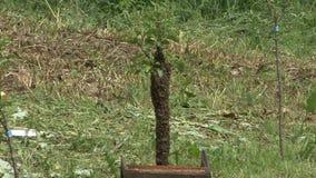 Pszczoły mrowie na owocowych drzewach zbiory wideo