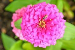 Pszczoły na cyni elegans Fotografia Stock
