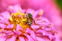 Pszczoły na cyni elegans Obrazy Royalty Free