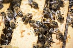 Pszczoły na honeycells Zdjęcie Royalty Free