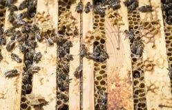 Pszczoły na honeycells Obraz Royalty Free