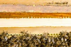 Pszczoły na honeycombs Zdjęcie Stock