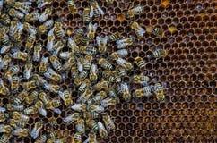 Pszczoły na honeycombs Zdjęcie Royalty Free