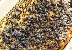 Pszczoły na honeycombs Zdjęcia Royalty Free