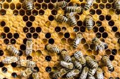 Pszczoły na honeycombs Obraz Royalty Free